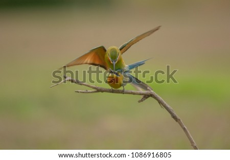 Blue-tailed bee-eater with make love action #1086916805