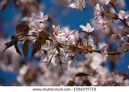 spring sakura tree #1086939758