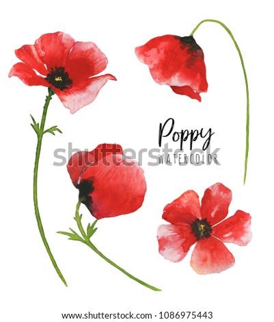 Watercolor poppy flowers isolated on white background. Botanical illustration