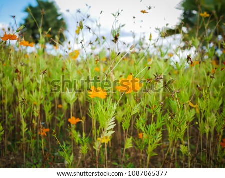 Close up of yellow cosmos with sky and blur green background #1087065377