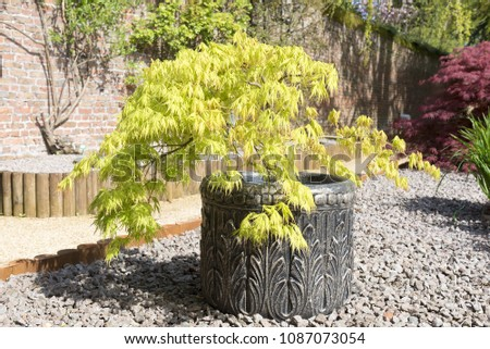 Acer palmatum or Japanese maple shrub growing in a container in an oramental garden with gravel surround. #1087073054