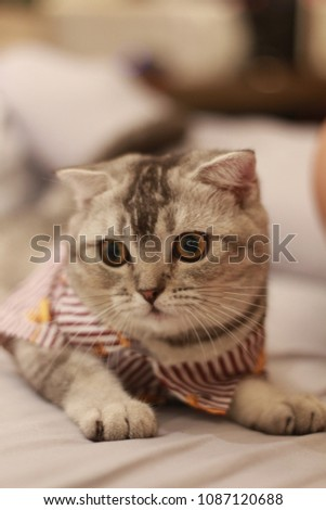 Scottish Fold, Put on clothes,white ,brown ann gray, cat sleeping on the  bed #1087120688
