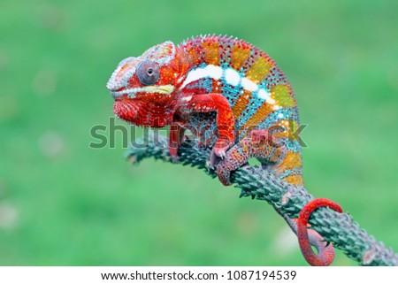 Chameleon on branch, reptile on branch, chameleon #1087194539
