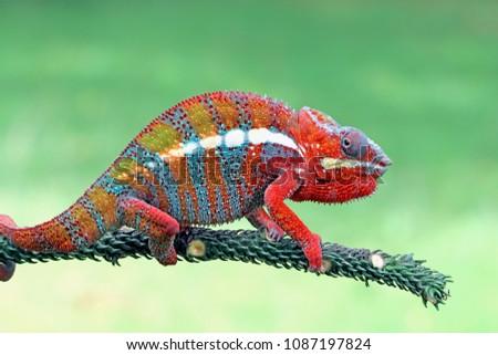 Chameleon on branch, reptile on branch, chameleon #1087197824