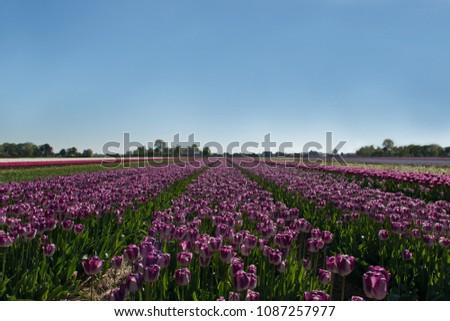 Tulip field in Egmond, The Netherlands #1087257977
