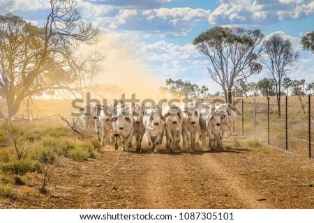 Brahman cattle coming up a dusty road landscape in outback Australia.  #1087305101