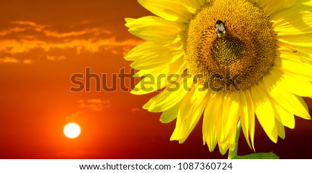 Sunflower is a sunny flower. a tall North American plant of the daisy family, with very large golden-rayed flowers. Sunflowers are cultivated for their edible seeds,  Royalty-Free Stock Photo #1087360724