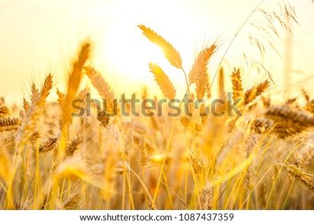 sun wheat field  #1087437359