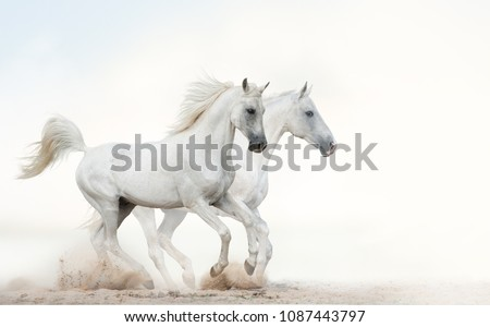 Two beautiful snowy white horses running together on light background #1087443797