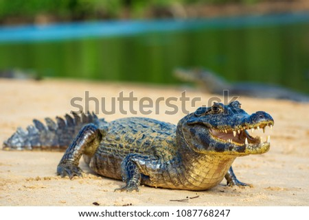 A large caiman, Caiman latirostris, walks down the beach to enter the Cuiaba River.	 #1087768247