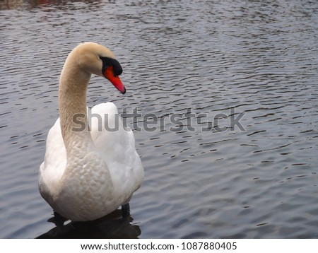 Single white swan swimming in the river #1087880405