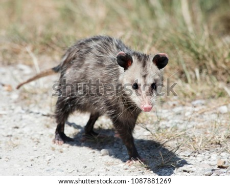 Common Opossum walking in Florida wilderness