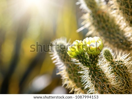 Closeup photo of blooming flowers on a Cholla cactus at sunrise with copy space in blurred background