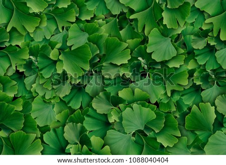 Ginkgo Biloba leaf background as a herbal medicine concept and natural phytotherapy medication symbol for healing. #1088040404