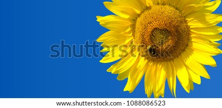Sunflower is a sunny flower. a tall North American plant of the daisy family, with very large golden-rayed flowers. Sunflowers are cultivated for their edible seeds,  Royalty-Free Stock Photo #1088086523