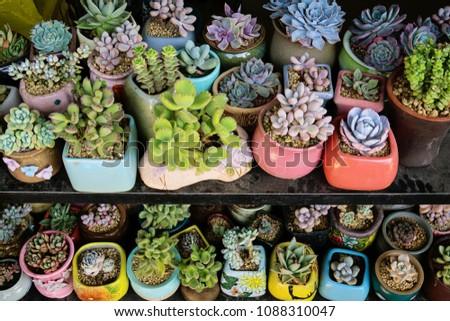 Miniature succulent plants (succulent cactus?, at the garden #1088310047