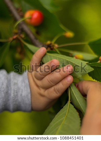 Baby's hand touching a cherry tree's leaves #1088451401