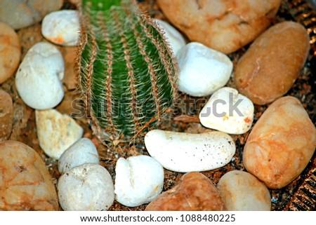 Cactus in the pot #1088480225
