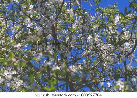white cherry flowers #1088527784