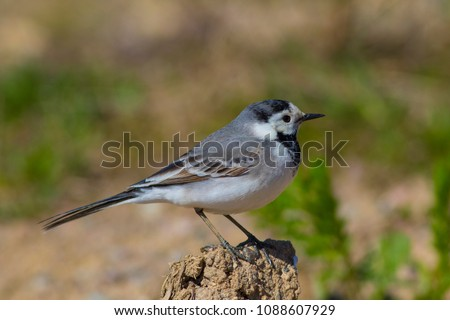 The bird is a wagtail shot close-up. #1088607929