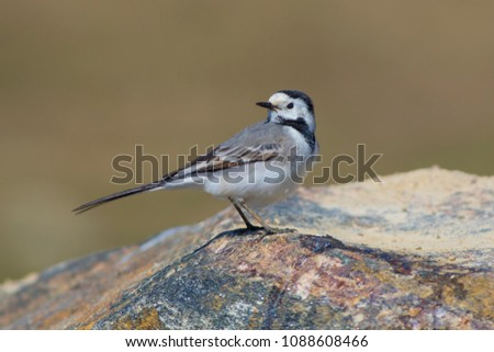 The bird is a wagtail shot close-up. #1088608466