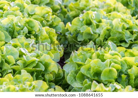 Butter lettuce ready for harvest on an organic farm #1088641655