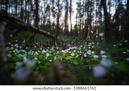 Oxalis flowers in forest #1088661761