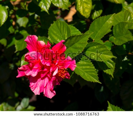 Stunning double deep carmine pink  Hibiscus rosa-sinensis evergreen  hibiscus Mrs George Davis blooming in autumn with large petals contrasted against green foliage adds decorative charm to a garden. #1088716763