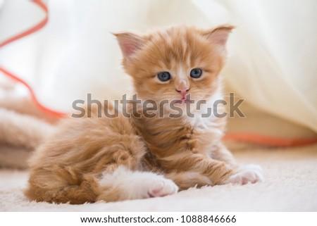 Red little kitten maine coon #1088846666