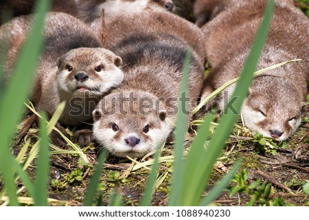 A family of Asain short-clawed otters resting on a riverbank. This is the smallest species of otter in the world, and is indigenous to Southeast Asia #1088940230
