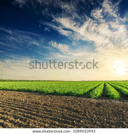 black and green agriculture fields with tomatoes bushes and deep blue sky with clouds in sunset #1089010943