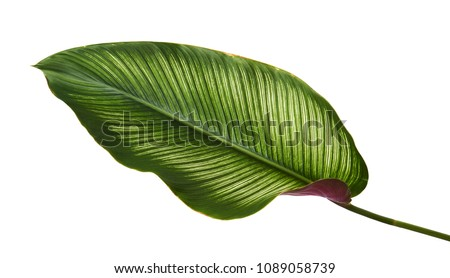 Calathea ornata (Pin-stripe Calathea) leaves, Tropical foliage isolated on white background, with clipping path                               #1089058739