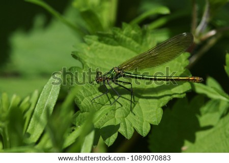A pretty female Banded Demoiselle (Calopteryx splendens) perching on a stinging nettle. #1089070883