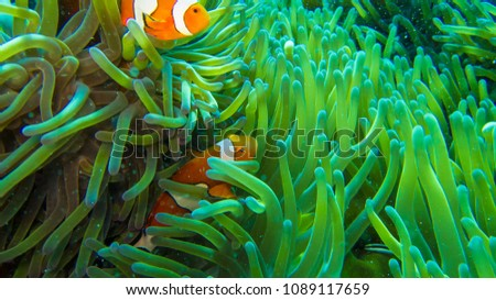 clown fish in anemone, colorful in green and orange #1089117659