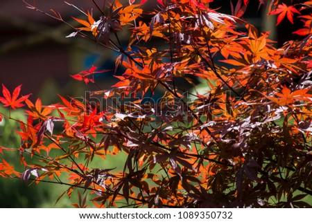 Red leaves of palmate maple. Japanese maple tree Atropurpureum (Acer palmatum) #1089350732