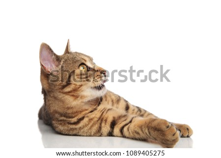 scared stripped british fold lying on white background and looking up to side with mouth open #1089405275