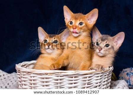 Group photo. three abyssinian kittens are sitting in the basket. On a black background. Copy space. Abyssinian cat. Royalty-Free Stock Photo #1089412907