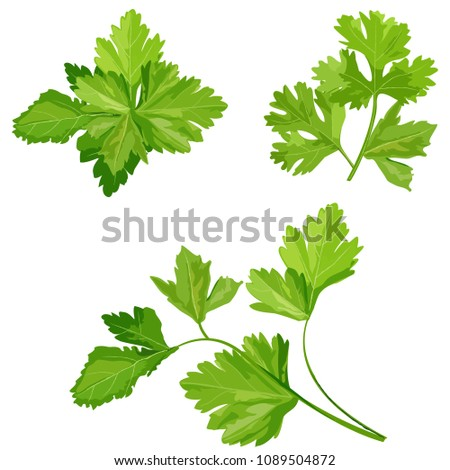 Fresh coriander or cilantro herb  #1089504872