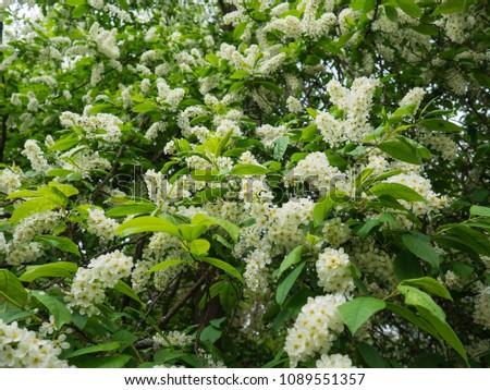 White blossom of Prunus padus ( bird cherry, hackberry, hagberry, or Mayday tree ) #1089551357