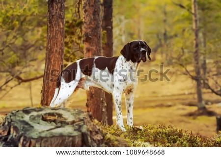Dog english pointer standing in the wild woods under pine tree  #1089648668