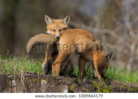 cute babies red fox playing #1089864179