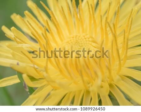 dandelion blossom partially open macro  #1089926450