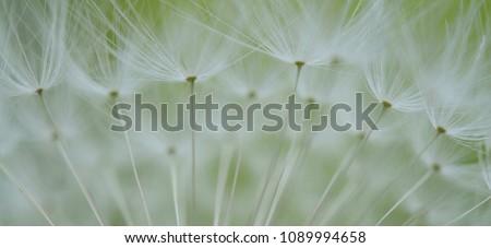 dandelion seeds taraxacum  #1089994658