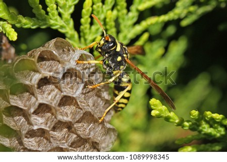 Tree wasp or paper wasp on its nest and building it very close up in Italy Latin polistes dominula or gallicus or dolichovespula sylvestris its eye clearly visible and the umbrella nest very clear #1089998345