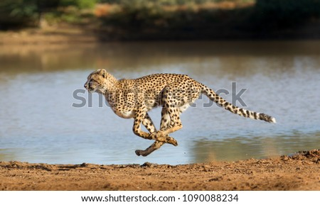Cheetah running at full speed in South Africa (Acinonyx jubatus) #1090088234