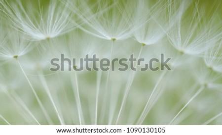 dandelion seeds taraxacum #1090130105