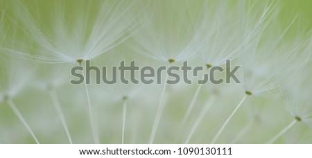 dandelion seeds taraxacum #1090130111