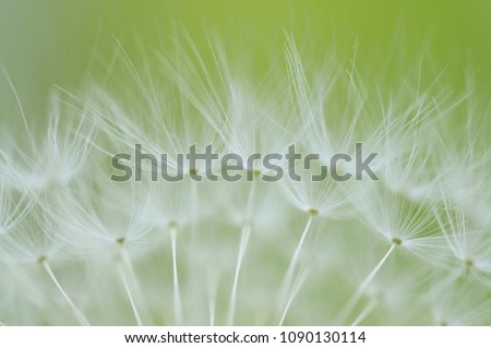 dandelion seeds taraxacum #1090130114