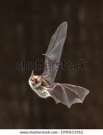 Rare Natterer's bat (Myotis nattereri) in flight on church attic with distinctive white belly #1090611962