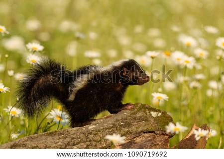 Skunk striped skunk. #1090719692